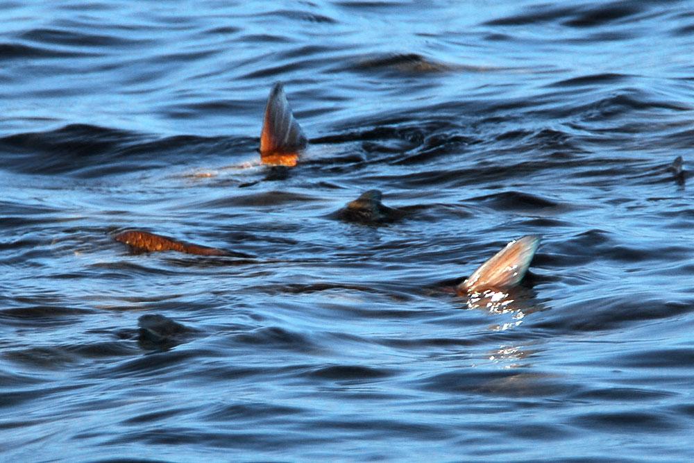 Sight Fishing Saltwater Flats Near Orlando For Redfish